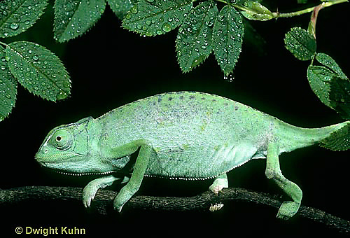 CH23-088z  African Chameleon - puffed up male,  warning off intruder - Chameleo senegalensis
