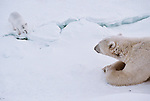 A polar bear lays and watches an arctic fox.