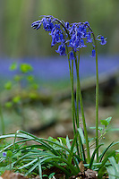 Detail of the Common Bluebell (Hyacinthoides non-scriptus)