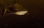Bull Shark in sepia, Carcharhinus leucas, lurking in the darkness