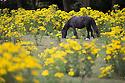 2016_07_25_ragwort_horses