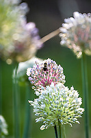 A bee gathers nectar on the flowers of a onion plant.