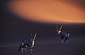 Oryx-Antelopes in front of red sand dune at Sossusvlei, Namib-Naukluft National Park, Namib Desert, Namibia