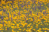 Mexican Gold Poppies in spring desert bloom (Eschscholtzia mexicana) with Lupines (Lupinus), Sonoran Desert, Arizona, USA.