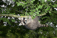 """Waschbär, etwa 4 Monate altes Jungtier klettert in einem Baum, Tierkind, Tierbaby, Tierbabies, Männchen, Rüde, Waschbaer, Wasch-Bär, Procyon lotor, Raccoon, Raton laveur, """"Frodo"""""""