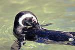African Penguin Swimming And Preening