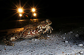 Common Toad (Bufo bufo) hopping across a road at night while a vehicle approaches, Italy