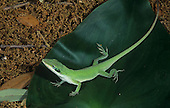 Green Anole (Anolis carolinensis) matching the green color of a leaf, Texas, USA