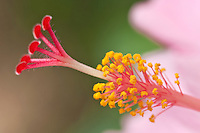 Hibiscus stamen<br /> Virgin Islands
