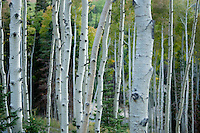 Aspen forest off Guardsman Pass, above Park City, UT