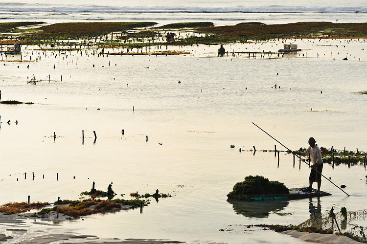 Seaweed farm at dawn, Kutuh, Bali, Indonesia.