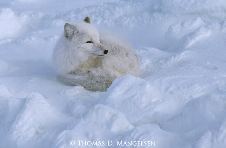 An Arctic Fox cuddled up in a ball while lying in the snow.