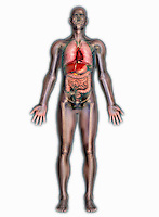 Biomedical illustration of a man in frontal view showing the heart, respiratory, digestive, and skeletal systems