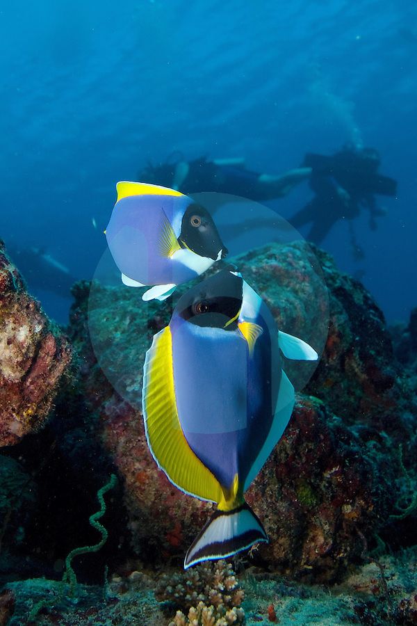 December 2nd, 2008_MALDIVES_ Some Powder-blue surgeonfish (Acanthurus leucosternon) at a dive site known as Manta point in the Maldives.  The Maldives, which is the world's lowest nation in altitude is rich with marine life and great diving.  Photographer: Daniel J. Groshong/Tayo Photo Group
