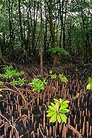 Environment Mangrove swamp Micronesia