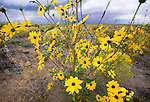 Common sunflower, Great Sand Dunes National Park, Colorado