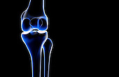 A posterior view of the bones of the right knee. Royalty Free