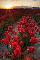 Rows of red tulips at sunrise, Skagit Valley, Mount Vernon, Washington