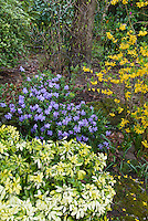Rhododendron blue flowers, forsythia in spring bloom with Choisya Sundance shrub for a fresh spring blooming garden scene