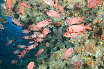 Rainbow Reef, Somosomo Strait, Fiji; an aggregation of Blotcheye Soldierfish (Myripristis murdjan) and other soldierfish gather inside the swim through at the far end of the Great White Wall dive site