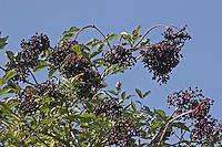 Schwarzer Holunder, Früchte, Fliederbeeren, Fliederbeere, Sambucus nigra, Common Elder, Elderberry, Sureau commun, Sureau noir