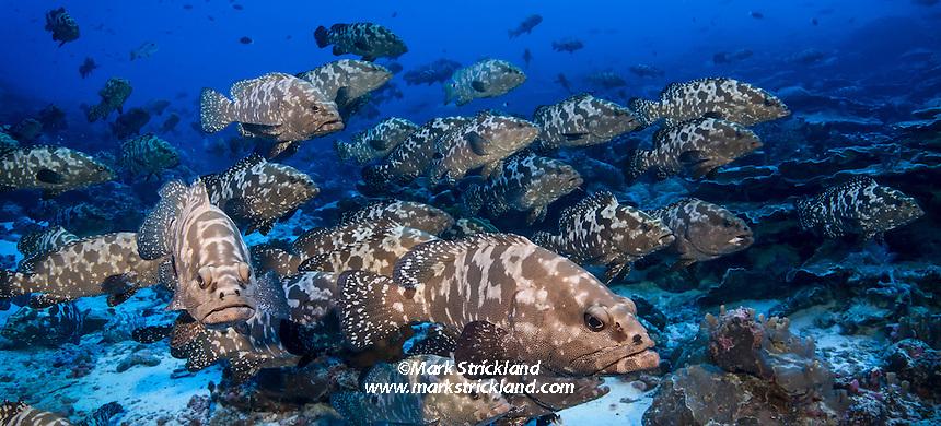 Spawing aggregation of Marbled Grouper, Epinephalus polyphekadion at Tetamanu, Fakarava,  Tuamotu Archipelago, French Polynesia, Pacific Ocean