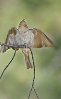 570500001 a wild greater pewee contopus pertinax flutters its wings while sitting on a branch in rosy canyon campground mount lemmon tucson arizona united states