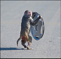 BNPS.co.uk (01202 558833)<br /> Pic: IanTurner/BNPS<br /> <br /> Cheeky monkeys - How the adults do it....<br /> <br /> A baby boom at the Wiltshire attraction spells trouble for visitor cars - They may only be a few months old but it didn't take these cheeky monkeys long to follow in their parents' criminal footsteps - by dismantling cars.<br /> <br /> The trio of juvenile delinquents were spotted playing tug-of-war with a section of car trim they had recently 'liberated' from a passing vehicle at Longleat Safari Park.<br /> <br /> And despite their tendency to tinker with visitors' cars, the rhesus macaques remain a favourite at the Wiltshire attraction.