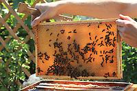 Un beau cadre plein de miel de tilleul n'attend que sa récolte.///A beautiful frame full of linden honey just waiting to be harvested.