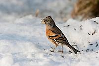 Bergfink, Berg-Fink, an der Vogelfütterung, Fütterung im Winter bei Schnee, frisst Körner am Boden, Winterfütterung, Männchen im Schlichtkleid, Fringilla montifringilla, brambling, Pinson du Nord