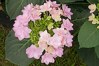 Hydrangea macrophylla 'Jogasaki' aka 'Fireworks Pink' (L/d) pink double flowers
