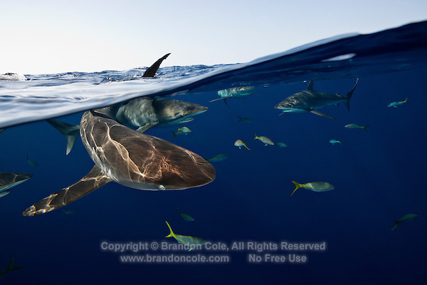 TH1212-D. Silky Sharks (Carcharhinus falciformis), split view perspective showing many sharks swimming just under the surface. These are pelagic sharks, usually found in the open ocean or at least far offshore in deep water. They feed on squid and a variety of fish including tuna. Cuba, Caribbean Sea. <br /> Photo Copyright &copy; Brandon Cole. All rights reserved worldwide.  www.brandoncole.com