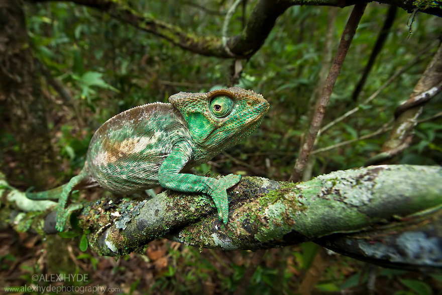 Parsons chameleon female {Calumma parsonii} on vine showing tropical rainforest habitat. Andasibe-Mantadia NP, Madagascar