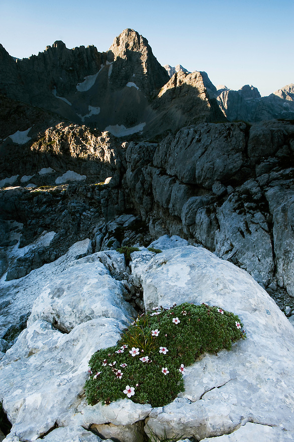 Moss campion (Silene acaulis) with Mount Pihavec in the background<br /> Triglav National Park, Slovenia<br /> July 2009