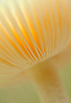 Mushroom gills at Acadia National Park, Maine, USA