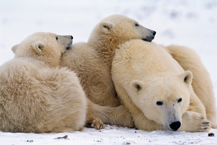 Two polar bear cubs snuggle with their mom as she rests on the snow in Canada.