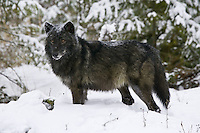 Grey Wolf standing in the snow - CA