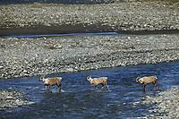 Aggregations of the Porcupine caribou herd during eastward migration from the Arctic Coastal Plains following calving. Kongakut river, Brooks range mountains, Arctic National Wildlife Refuge, Alaska