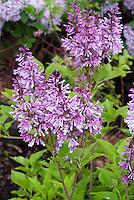 Syringa patula 'Miss Kim' Lilac in bloom aka Syringa pubescens subsp. patula 'Miss Kim', Korean Lilac