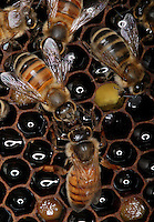 Bees on a honey comb with pollen.