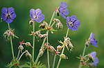 Meadow cranesbill, Geranium pratense, violet colour, soft focus.United Kingdom....