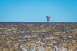 A grey morph reef egret flying over Montgomery Reef, Kimberley Coast, Australia