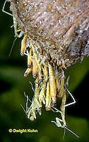 1M05-135z  Praying Mantis Nymphs hatching from egg case - Chinese Praying Mantis - Tenodera aridifolia sinensis.
