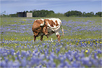 in a field of bluebonnets, I saw this Longhorn and Cowbird playing in the morning light. I'm not sure what was being said - maybe they were talking about plans for the weekend - but they were certainly engaged with one another. ..I had set out on this morning to find fields to capture some bluebonnet pictures, but instead spent a while photographing several Longhorns in this patchwork field of blue and yellow Texas wildflowers. It was a good morning. Sure beats and office job!