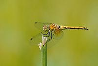 362700033 juvenile male band-winged meadowhawk sympetrum semicintum wild california