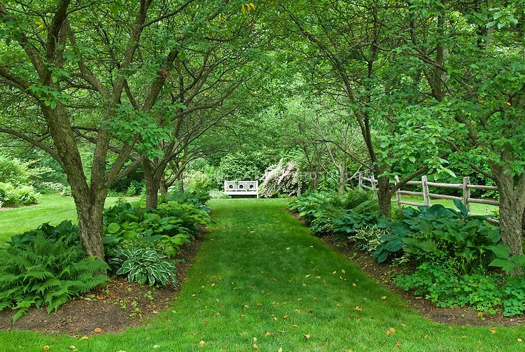 walkway in dry shade garden under allee of trees with hostas