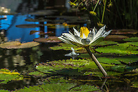Nature Art Photograph of a single white lily amongst a pond of lily pads. The white and yellow petals of this flower makes this flower stand out from amongst all the foliage and water reflections of this pond.