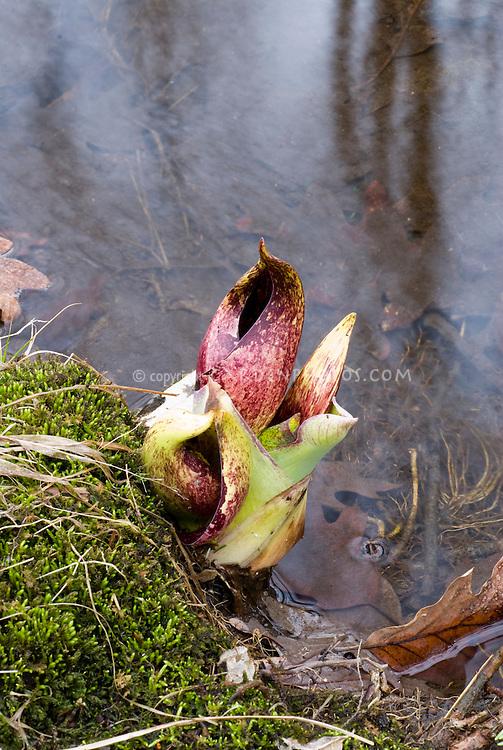 Skunk Cabbage flowers Symplocarpus foetidus in spring bloom growing next to stream water