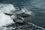 Two dolphins playing in the water and swimming next to the boat