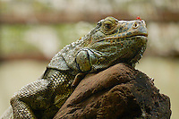 Iguana with and insect on his head